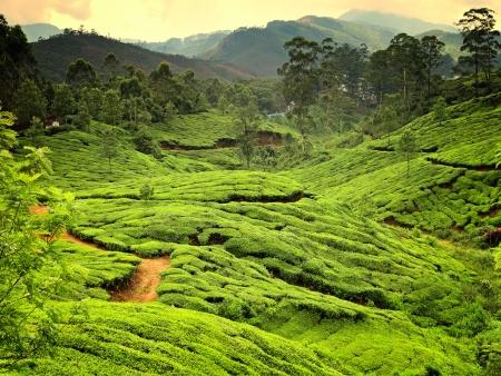 Tea plantations in state Kerala, India Stock Photo - 18232804