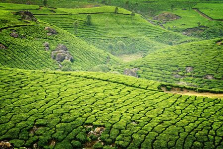 Tea plantations in state Kerala, India photo