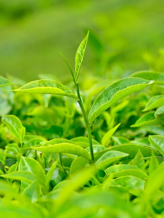 close up green tea leaves photo