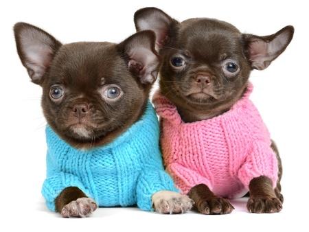 dog days: Chihuahua cachorro chocolate de la edad de 1 mes aislado en blanco Foto de archivo