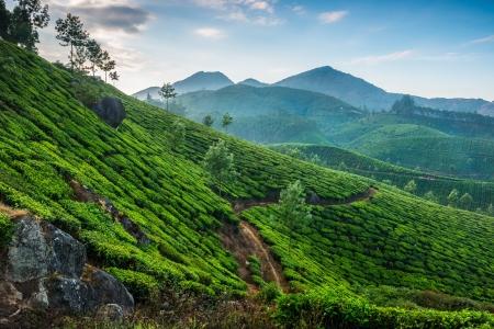 Las plantaciones de t? en el estado de Kerala, India
