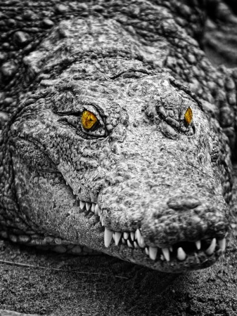 alligator eyes:  crocodiles portrait