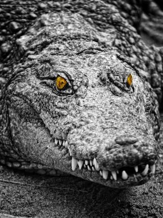 alligator eyes:  crocodiles portrait