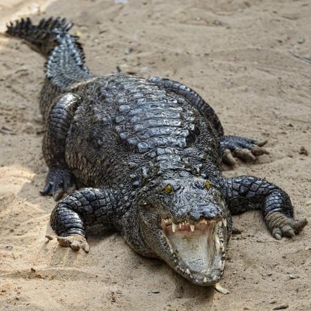 krokodil: schwarz Krokodile Portr�t