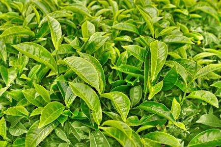 緑の茶葉を閉じる