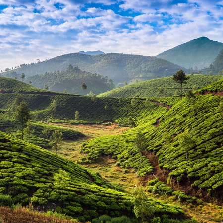herb medicine: Tea plantations in state Kerala, India Stock Photo