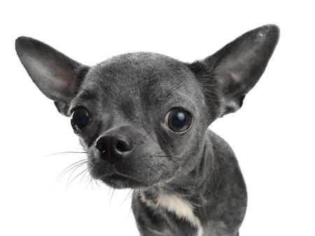 tilt: Chocolate Chihuahua puppy  isolated on white Stock Photo