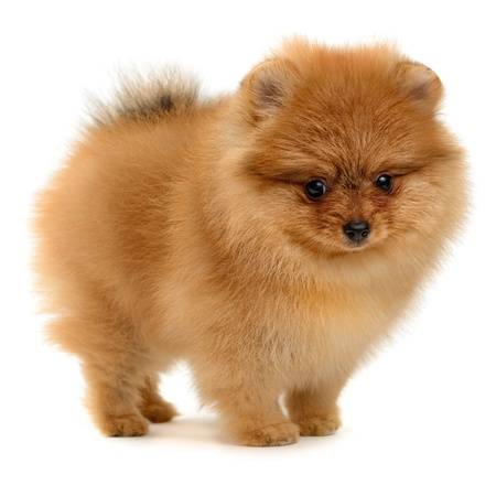 pomeranian puppy the age of 1,5 month isolated on white Stok Fotoğraf