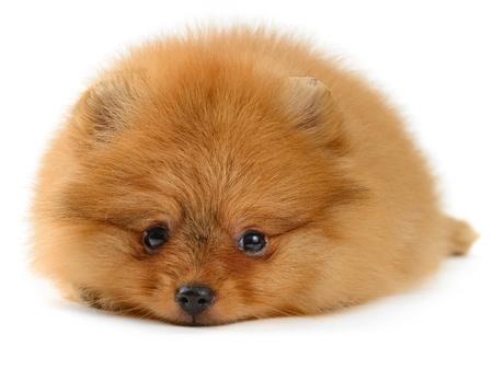 ポメラニアン子犬白で隔離され 1, 5 ヶ月の年齢