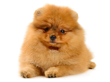 closeup puppy: pomeranian puppy the age of 1,5 month isolated on white Stock Photo