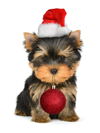 Adorable dogs wearing santa hat and hold Christmas ball photo