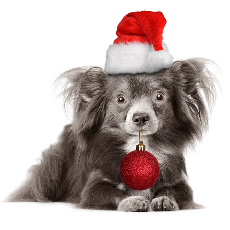 Adorable dog wearing Santas hat and holding Christmas ball photo