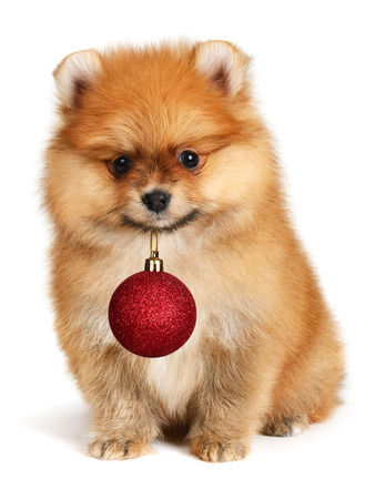 Adorable dog  holding Christmas ball photo