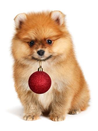 red animal: Adorable dog  holding Christmas ball