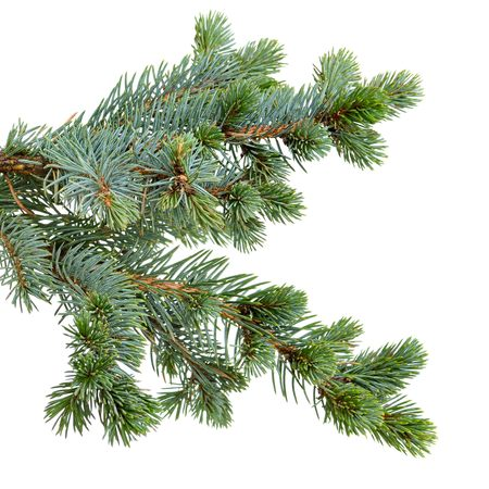 fir tree isolated on white Zdjęcie Seryjne