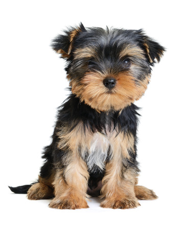 yorkie: yorkshire terrier puppy the age of 2 month isolated on  white Stock Photo