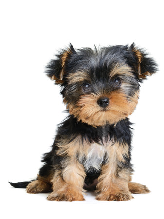 yorkshire terrier puppy the age of 2 month isolated on  white Stock Photo