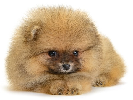 tilt: pomeranian puppy the age of 1month isolated on white