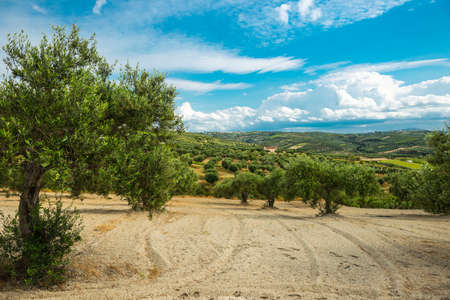 agricultura: olive plantation on the Crete,Greece