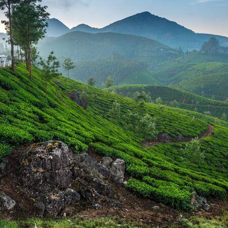 tea plantations: Tea plantations in state Kerala, India Stock Photo