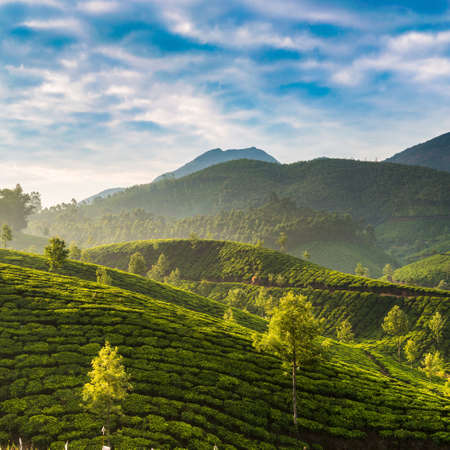 green hills: Tea plantations in state Kerala, India Stock Photo