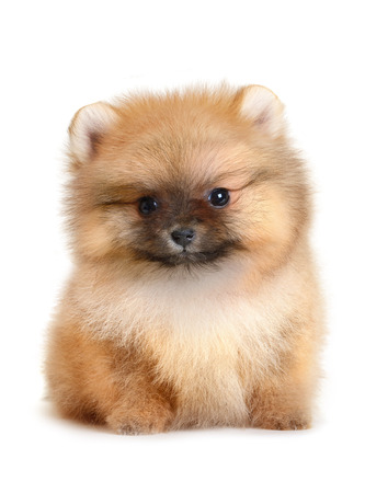 age 5: pomeranian puppy the age of 1,5 month isolated on white Stock Photo