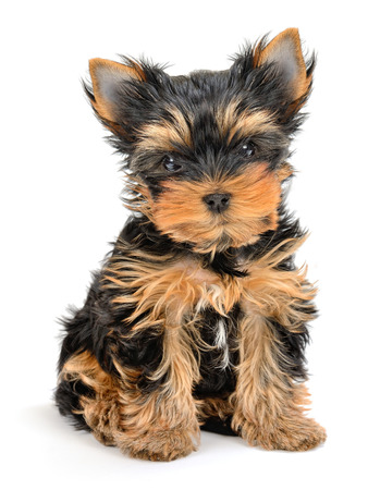 3 month: yorkshire terrier puppy the age of 3 month isolated on white  Stock Photo