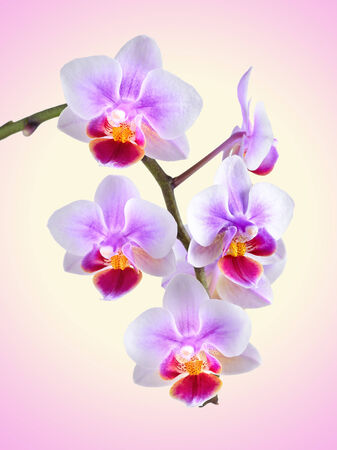 massage symbol: orchid on the color background