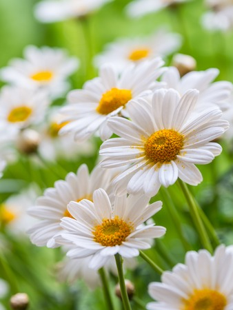 campo de flores: Pasto verde y chamomiles en la naturaleza