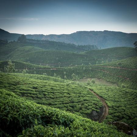 kerala: Tea plantations in state Kerala, India Stock Photo