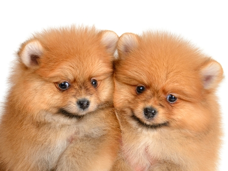 age 5: two pomeranian puppy the age of 1,5 month isolated on white Stock Photo