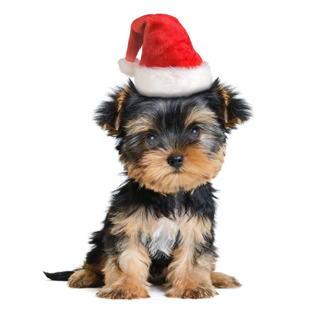 yorky: yorkshire terrier dog in the santa hat isolated on white, Merry Christmas and Happy New Year