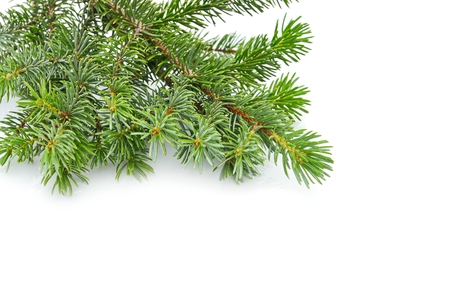fir twig: fir tree isolated on white Stock Photo