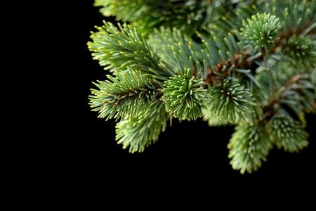 abetos: Símbolo de la Navidad rama de abeto en el negro