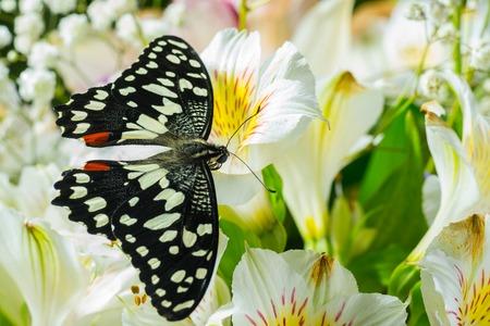 Butterfly Papilio demoleus on the flowers Stock Photo