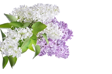 branch of lilac isolated on a white background