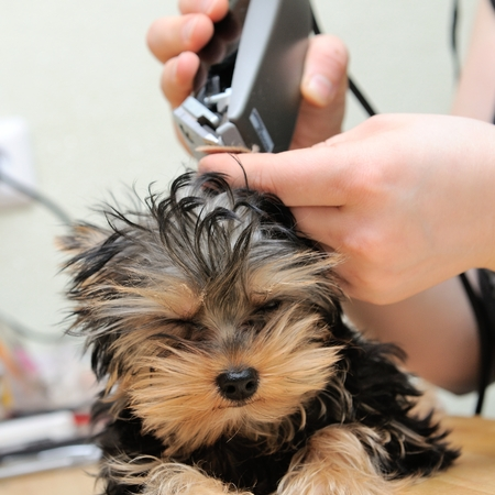 yorkshire terrier getting his hair cut at the groomer Stock fotó