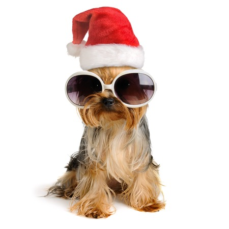 two yorkshire terrier dog in the santa hat isolated on white,Merry Christmas and Happy New Year Stock fotó