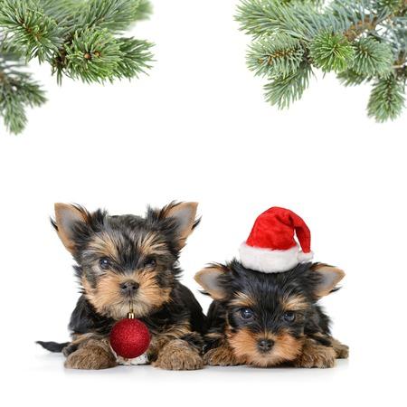 白、メリー クリスマスと幸せな新年で隔離サンタ帽子で 2 つのヨークシャー テリア犬 写真素材