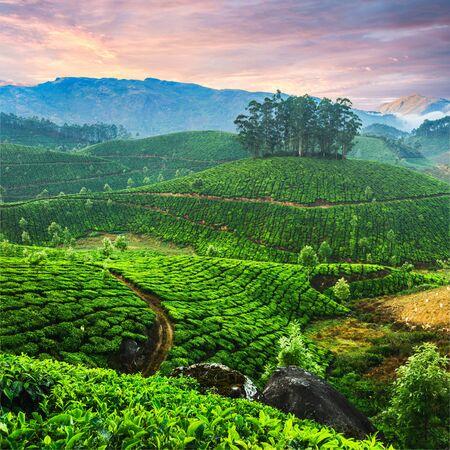 ケララ州、インドの状態の紅茶プランテーション 写真素材