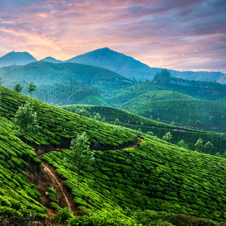 Tea plantations in state Kerala, India Standard-Bild