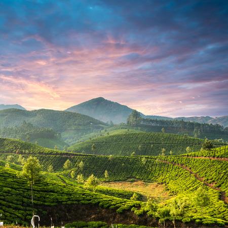 Tea plantations in state Kerala, India Stock fotó