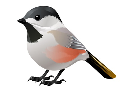 black, white and orange bird Vector