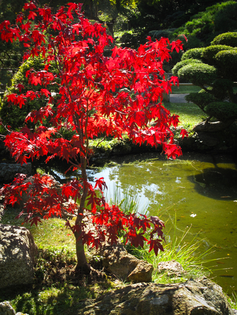 acer: Japanese Acer tree lit from behind and at the side of an ornamental pond Stock Photo