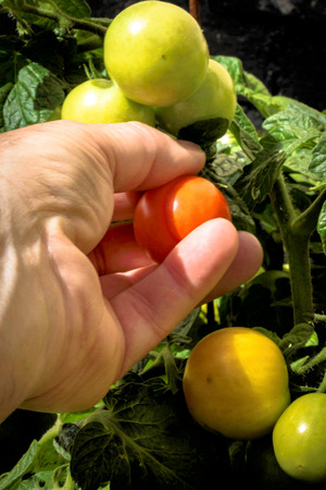 Picking a red ripe tomato from the vine by hand Imagens