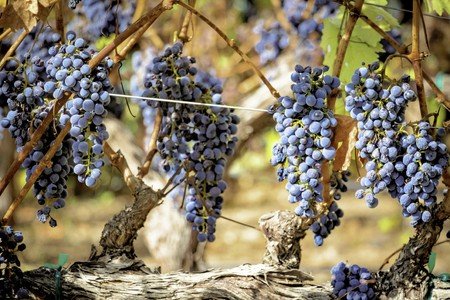 Red wine grapes ripening on the vine