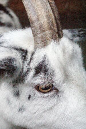 Goats Face,Eye and Horn Abstract