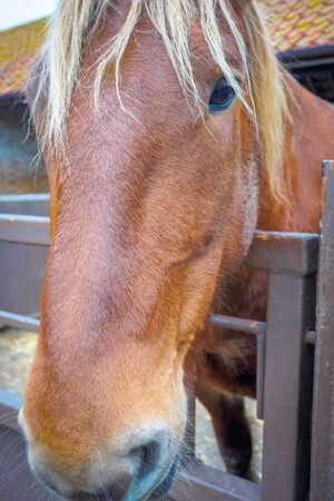 Suffolk Punch a rare breed working horse
