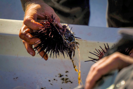 Sea urchins are a class of marine animals that live on the seabed or burrow into the sand.Scientific name: Echinoidea