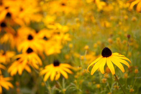 yellow daisies in a field with shallow depth of field